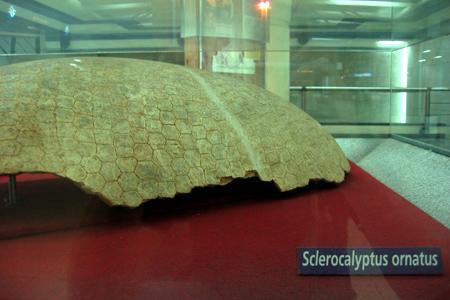 Glyptodont fossil, Subte, Juramento station