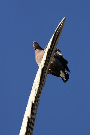 Pigeon, Recoleta Cemetery